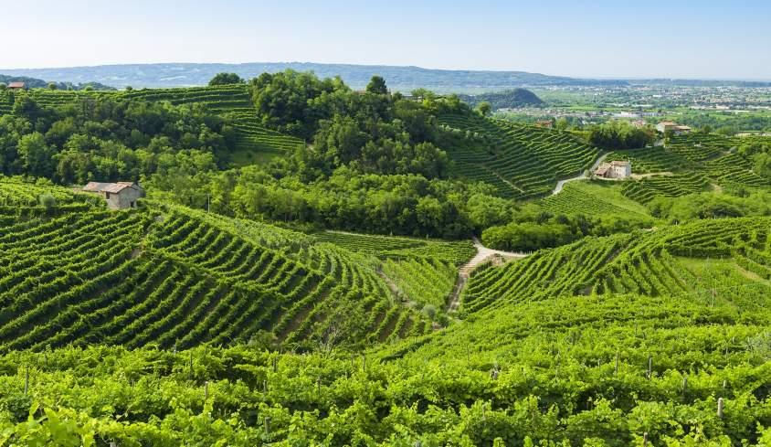Prosecco-vineyards-at-summer-Valdobbiadene-Italy