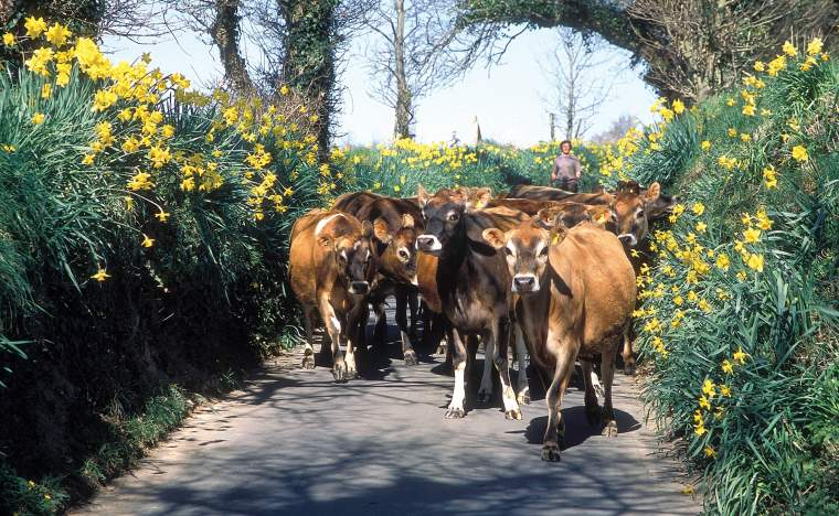 Jersey-cows