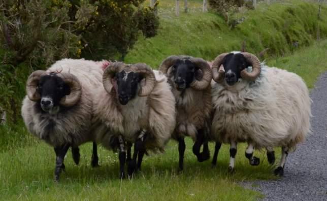 Glen Keen Farm Sheep